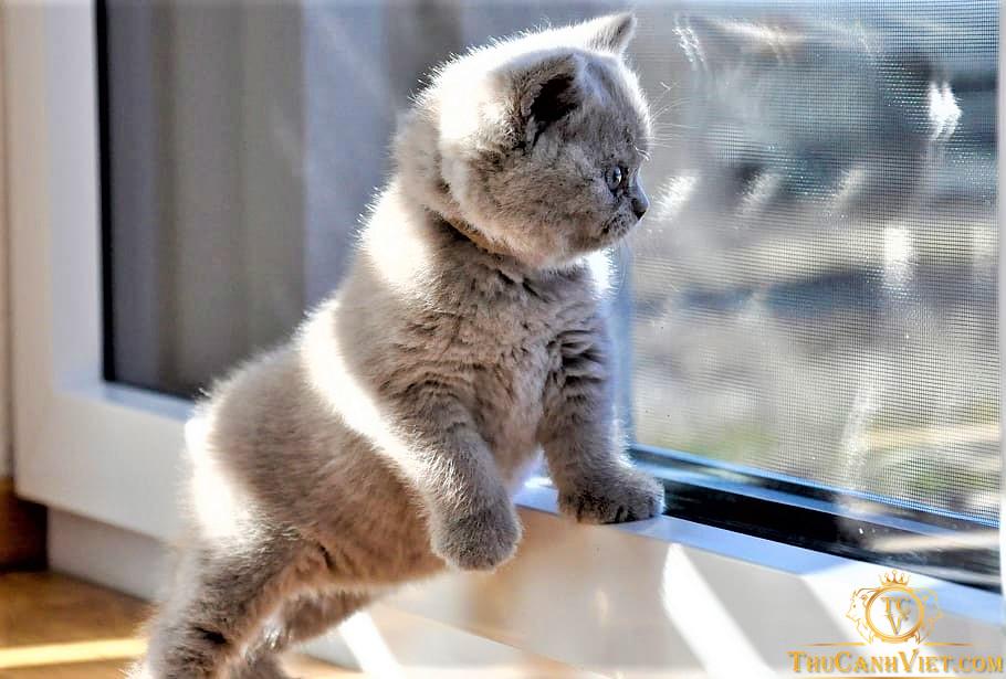 Đáng yêu chưa - Kittens british shorthair cat baby