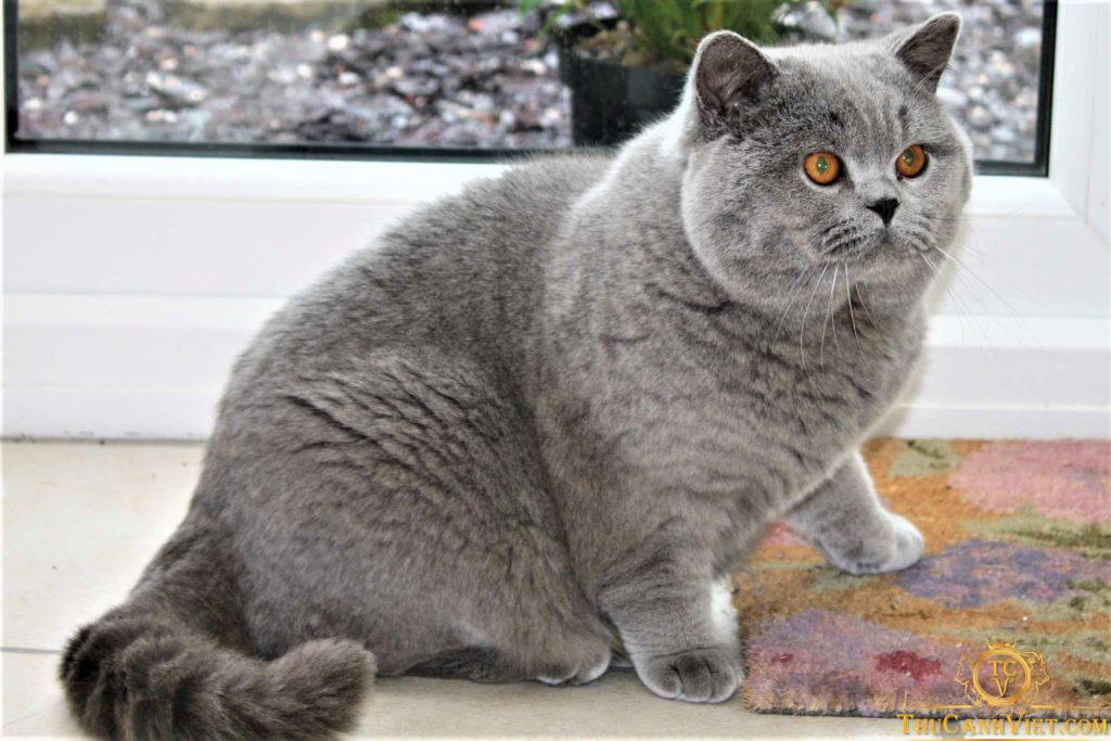Vóc dáng của 1 chú Mèo Anh Lông Ngắn trưởng thành Được Chăm Bẵm Béo Ú Ụ
