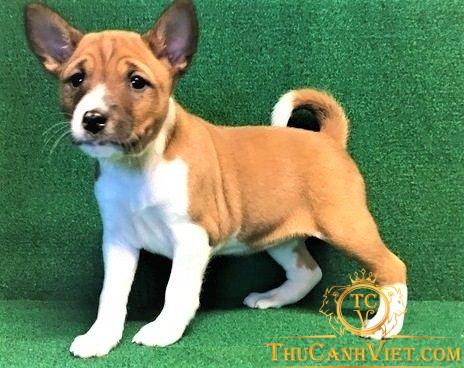 Khuôn hình Chó Basenji 2-3 tháng tuổi