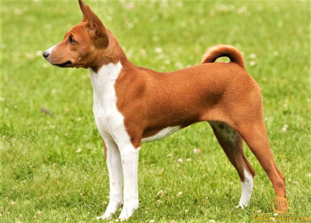 Vóng dáng thon gọn của chó Basenji được ví như trai hàn quốc vậy