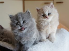 Bộ mặt đáng yêu của 2 bé British longhair