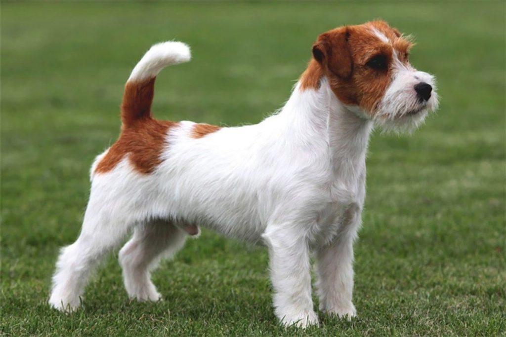 Chó sục Jack Russell Terrier- giống chó nhỏ thông minh và ranh mãnh,