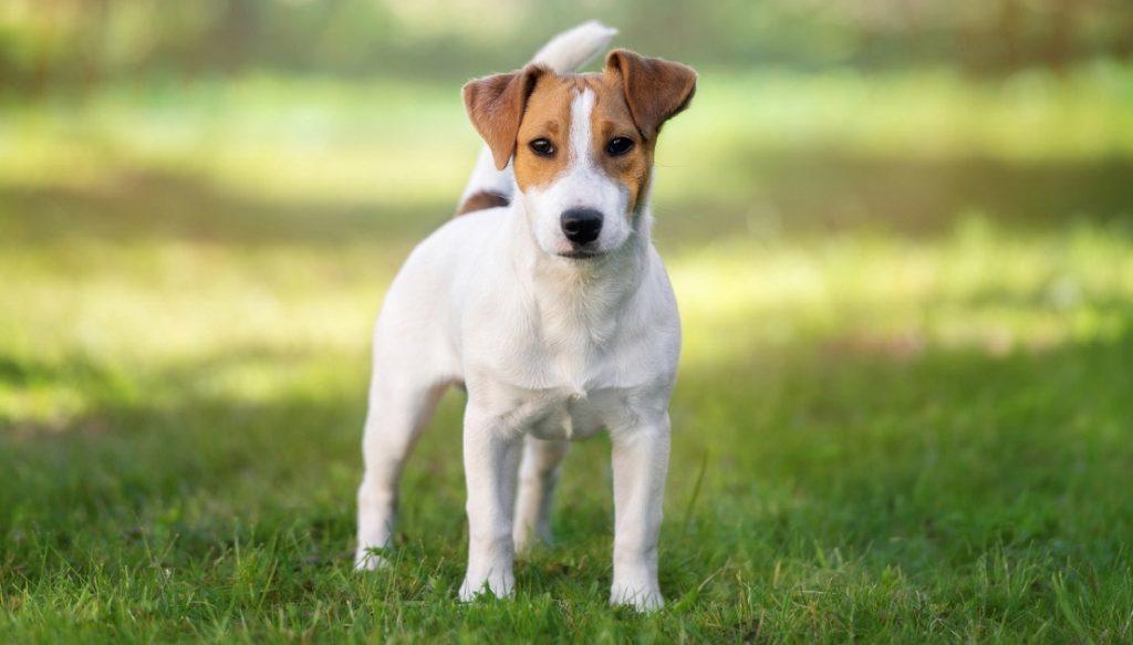 Lưu ý khi nuôi dưỡng chó sục Jack Russell Terrier
