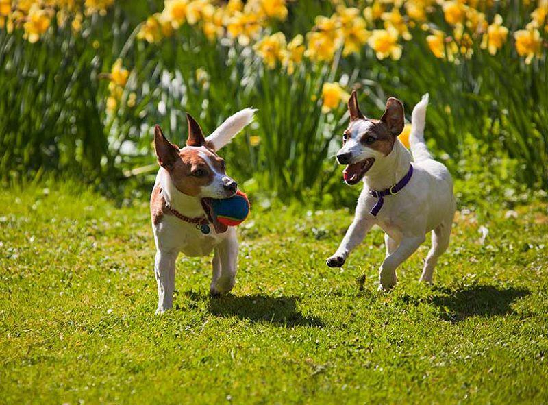 Chó sục Jack Russell Terrier- giống chó nhỏ thông minh và ranh mãnh