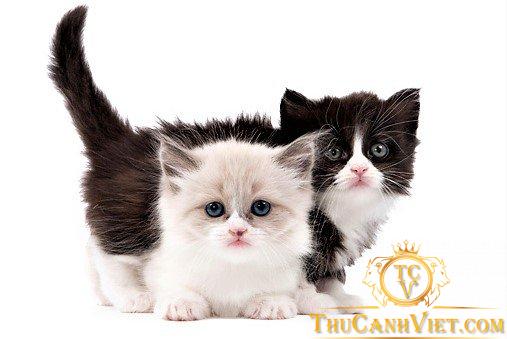 Hãy huấn luyện và tạo thói quen cho mèo Munchukin ngay từ khi còn bé