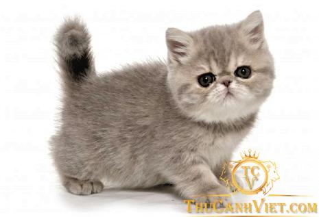 Mèo Exotic Khá Năng Động Và Hiền Lành