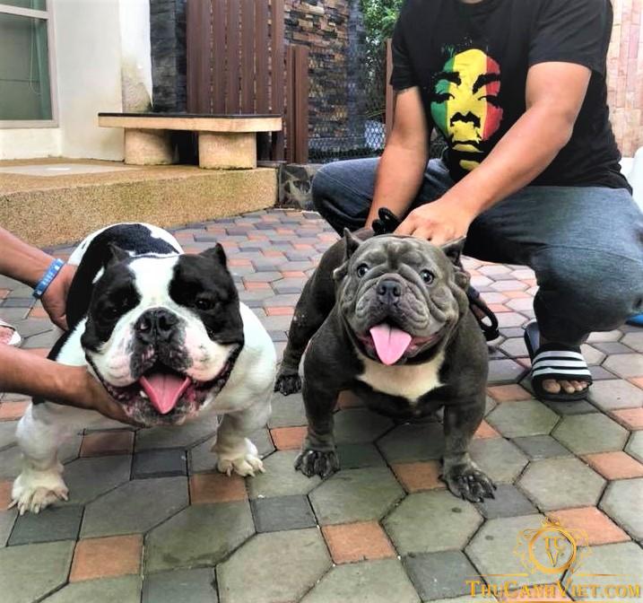 Chó Bully bùa sữa và đen trắng là 2 màu phổ tiến tại việt nam