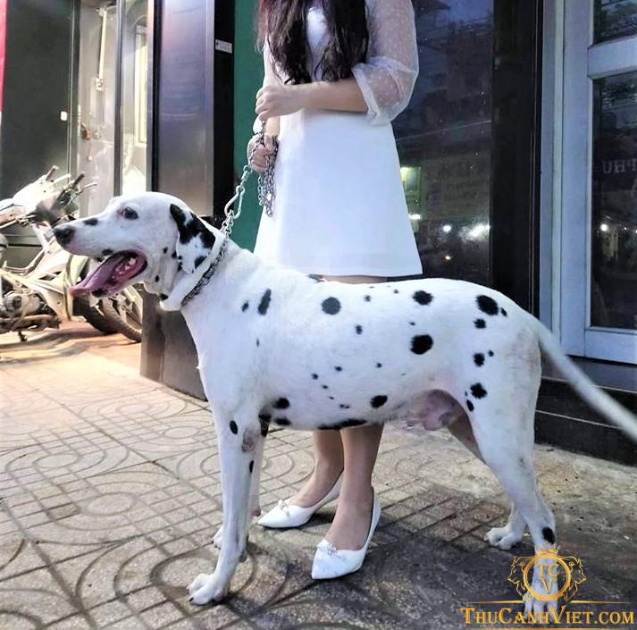 Vóc dáng Chú chó Đốm trưởng thành tại Tp.Hcm