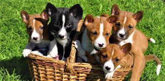 Đàn chó Basenji nhỏ đến tuổi tìm nhà mới