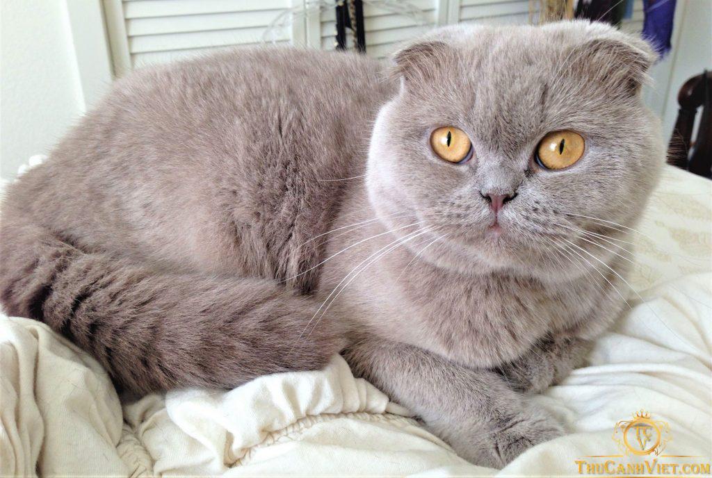 Khi trưởng thành, trông mèo tai cụp cũng khá là hấp dẫn đó chứ