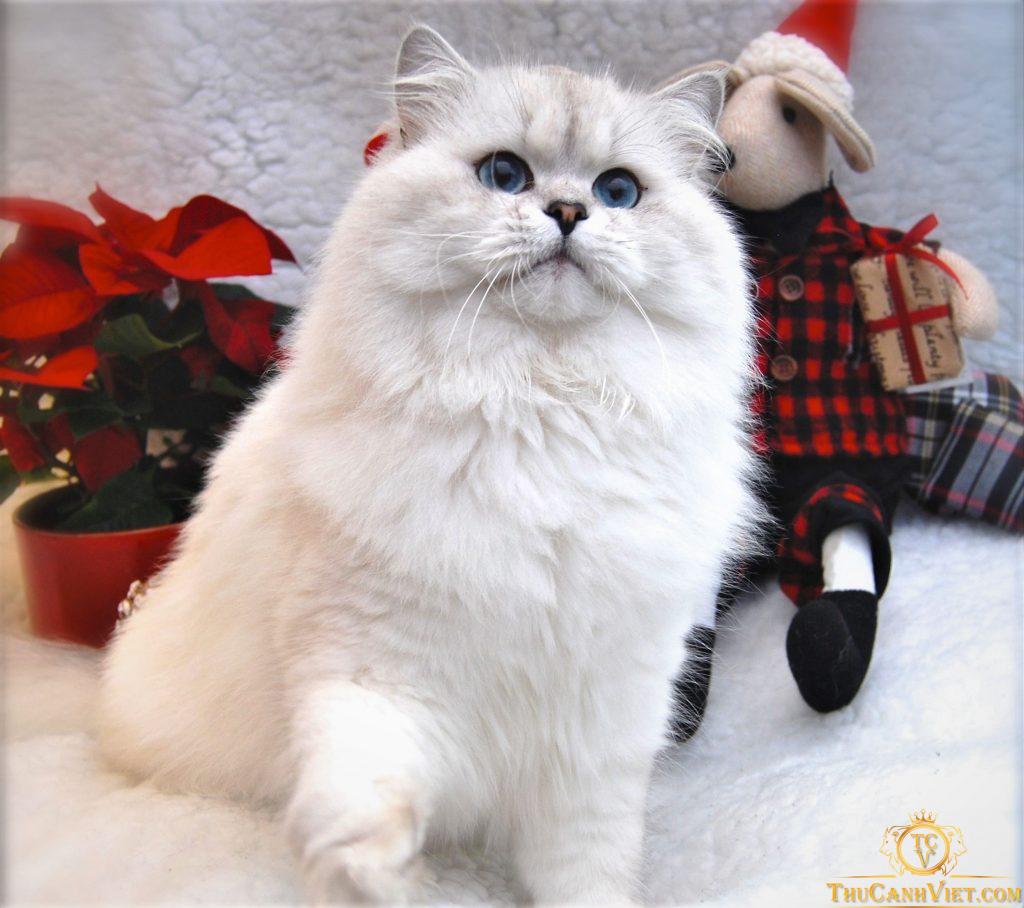 Ngoài hình ấm áp của Mèo anh lông dài trưởng thành
