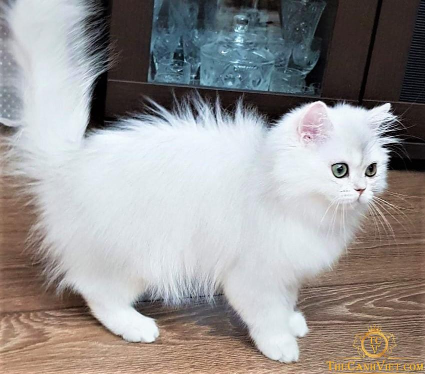 Vóc dáng Mèo anh lông dài 4 tháng tuổi