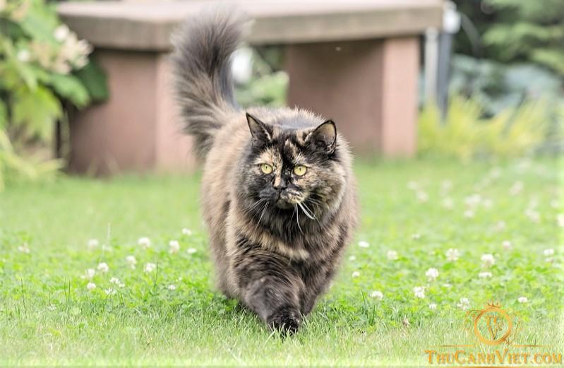 Mèo anh Lông Dài Màu Loang