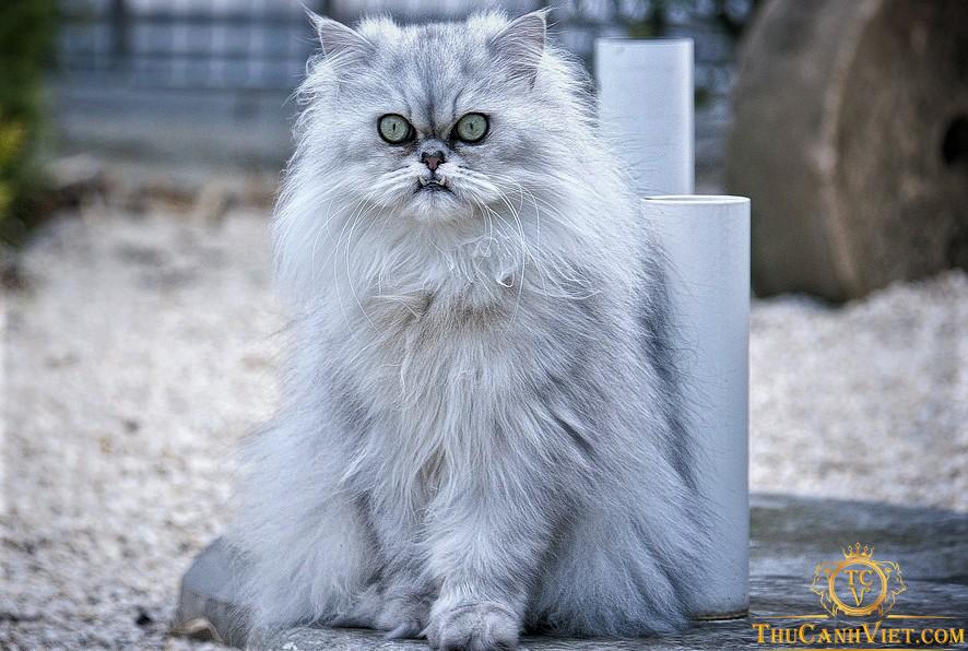 Đây là Một trong những chiến binh cao tuổi trong làng mèo ba tư