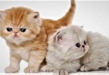 Mèo exotic lông ngắn khi còn nhỏ