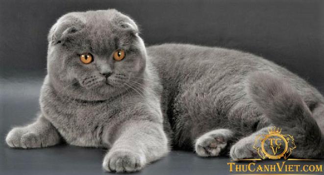 Mèo scottish fold khi trưởng thành