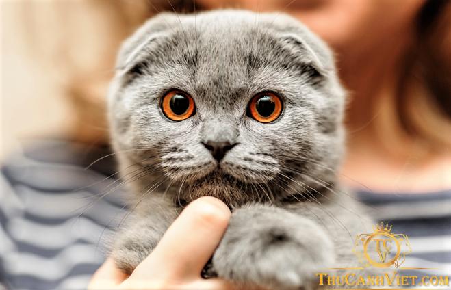 Vẻ mặt ngơ ngác đầy quyến rũ của mèo tai cụp