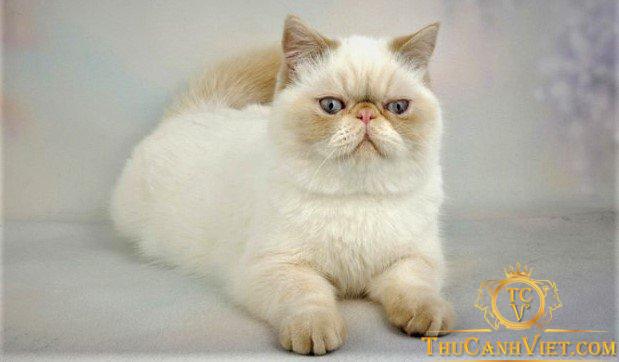 Các bạn có thể nhận dạng mèo ba tư với các giống mèo khác qua khuôn mặt
