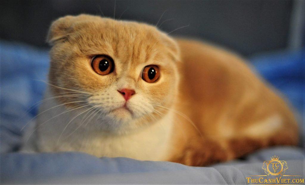 Màu vàng lủa khá thu hút và độc lạ của mèo scottish fold