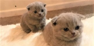 2 chú mèo con tai cụp vô cùng đáng yêu