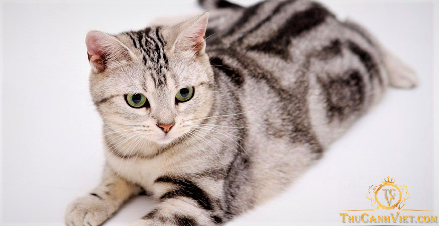 American Shorthair - meo long ngan hoa ky