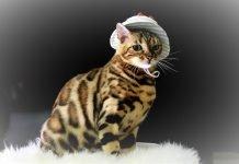 Mèo Bengal với phong cách hiphop