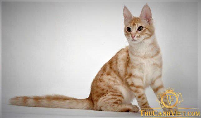 Mèo Angora hổ vằn