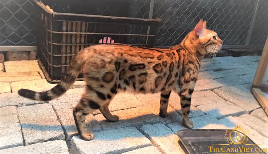 Toàn cảnh vóc dáng thân thương của Mèo Bengal  1 năm tuổi