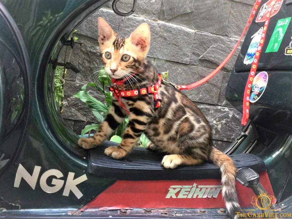 Bạn Mèo Bengal hơn 2 tháng tuổi được đưa đi chơi
