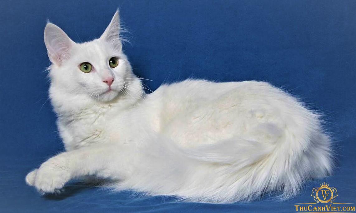 Mèo Turkish Angora màu trắng trưởng thành